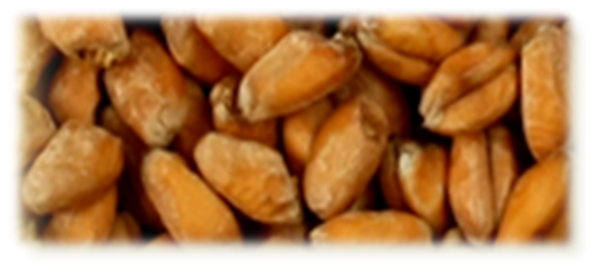 Wheat Blanc Malt - EBC 3,5-5