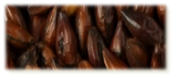 Chocolat Malt - EBC 900