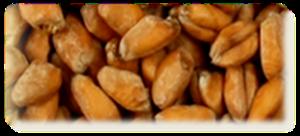 Billede af Wheat Blanc Malt, ØKO - EBC 3,5-5